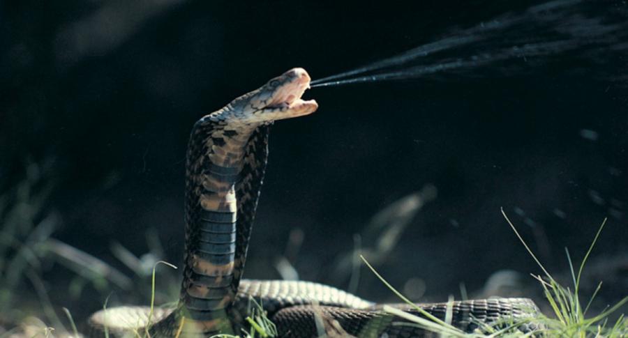 Científicos dicen que hallaron sustancia en veneno de serpientes capaz de frenar el COVID-19